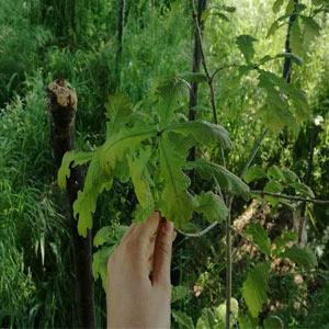 Sviluppo degli alberi piantati